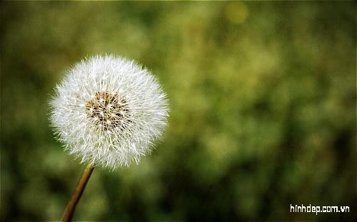 những hình ảnh đẹp về hoa bồ công an