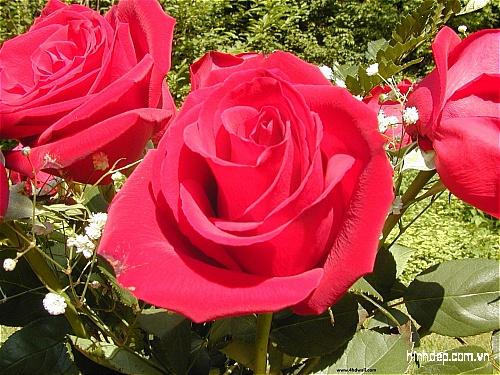 những hình ảnh đẹp về hoa hồng
