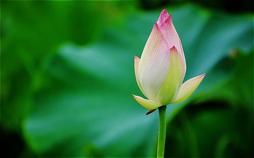 hình ảnh đẹp của hoa sen