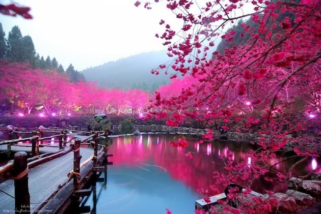 Hoa anh đào,quốc hoa Nhật  Bản