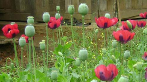hoa anh tuc