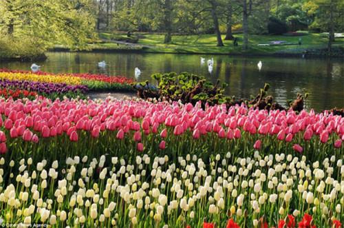 hoa tulip