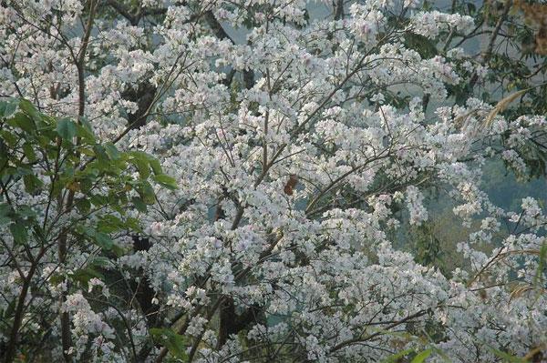 Ảnh hoa ban tháng 3