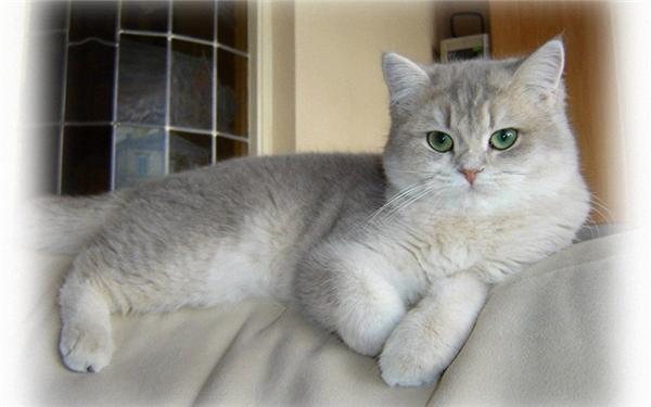 Chú mèo mắt xanh đẹp