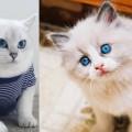 Chú mèo coby mắt xanh đẹp