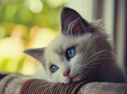 Chú mèo mắt xanh đẹp nao lòng