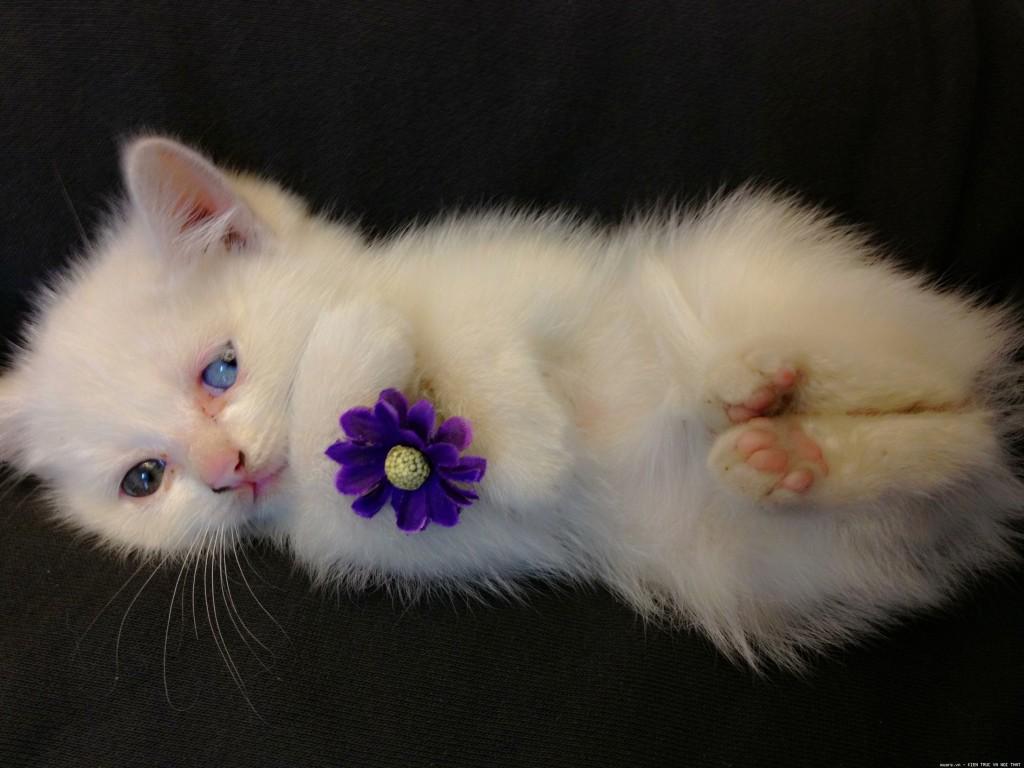 Chú mèo mắt xanh tuyệt đẹp
