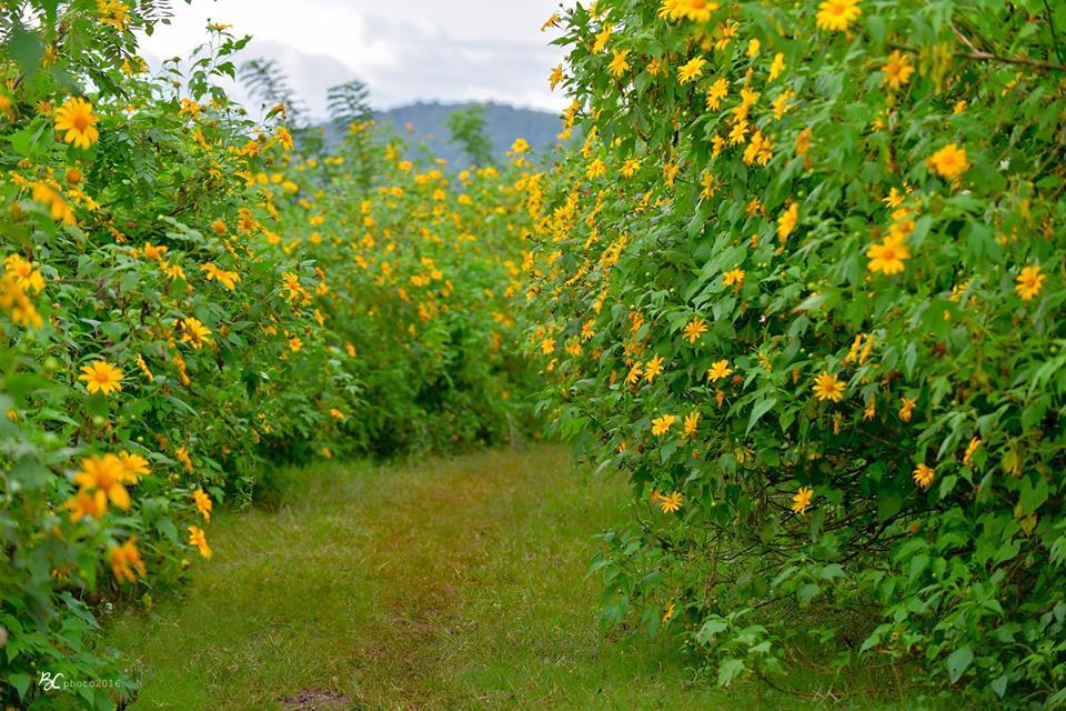 Hoa Dã Quỳ, một trong những loài hoa đặc trưng của Đà Lạt