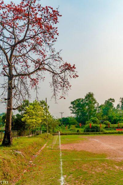 Cây gao nở hoa bên sân bóng cuối làng
