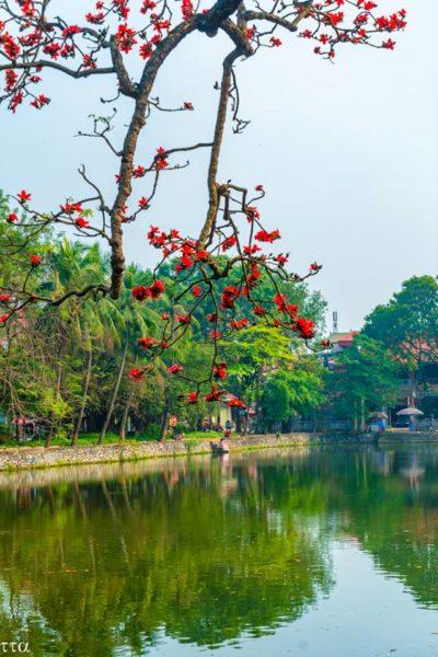 Chùm hoa gạo nở ven hồ