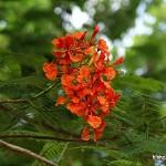 Hình ảnh đẹp về hoa phượng