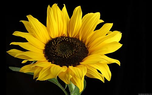 hình ảnh đẹp của hoa hướng dương