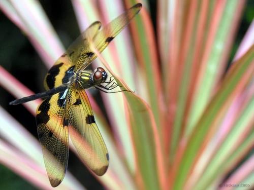 hinhdep.com.vn-Rhyothemis-variegata