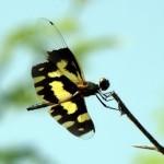 Ảnh đẹp chuồn chuồn cánh bướm