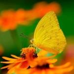 Bộ sưu tập ảnh đẹp về các loài bướm