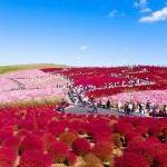Thiên đường hoa ở công viên Hitachi Seaside – Nhật Bản.