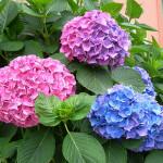 Ý nghĩa loài hoa Cẩm tú cầu