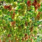 Thăm vườn nho trên mảnh đất Phan Rang