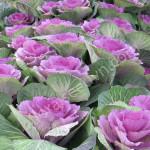 Đẹp lạ mắt vườn hoa bắp cải tím