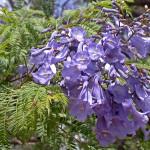 Sắc tím hoa Jacaranda mê hoặc lòng người ở Australia