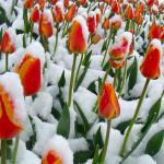 Hoa Tulip trong tuyết