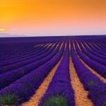Say đắm trước vẻ đẹp của cánh đồng hoa Oải Hương