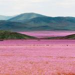 Sa mạc hoa đẹp đến nao lòng ở Chile