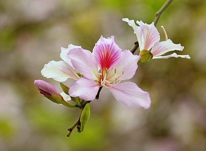 Ảnh đẹp hoa ban tháng 3