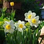 Mùa xuân xinh đẹp với vẻ thanh khiết của Hoa Thủy Tiên