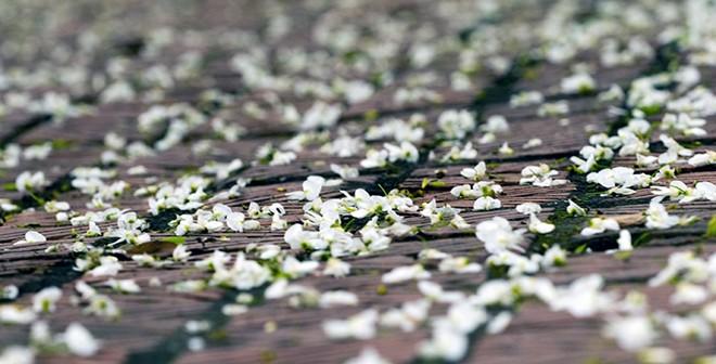 Tháng 3 mùa hoa sưa