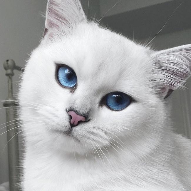 Mèo mắt xanh