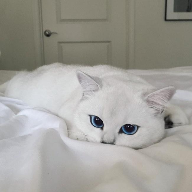 Mèo mắt xanh đẹp