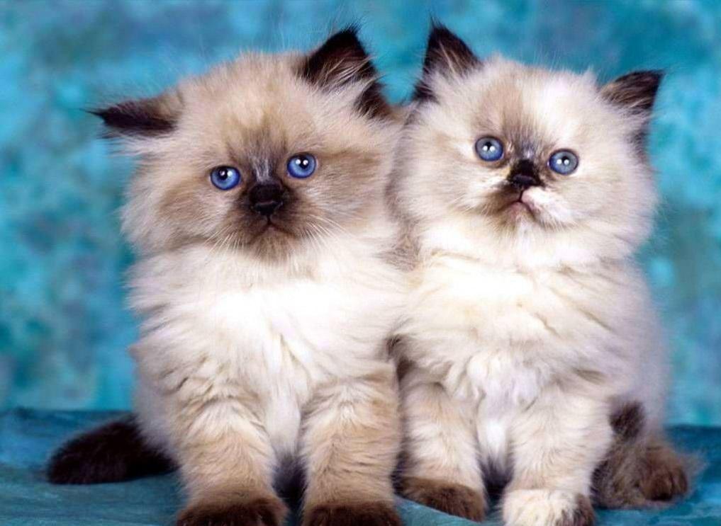 Chú mèo mắt xanh đpẹ