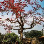 Hình ảnh đẹp của Hoa Gạo mỗi độ tháng 3 về