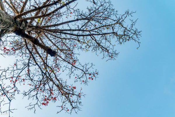 Cây hoa gao