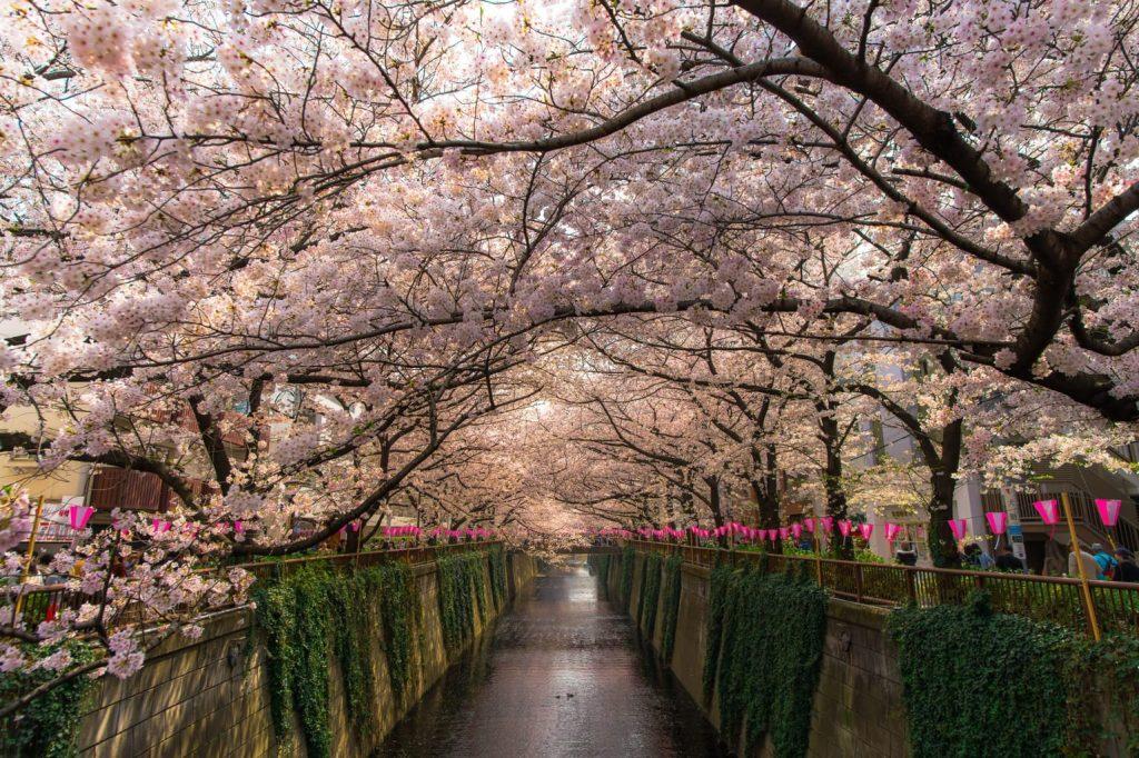 Lễ hội hoa anh đào tại Shinjuku Gyoen