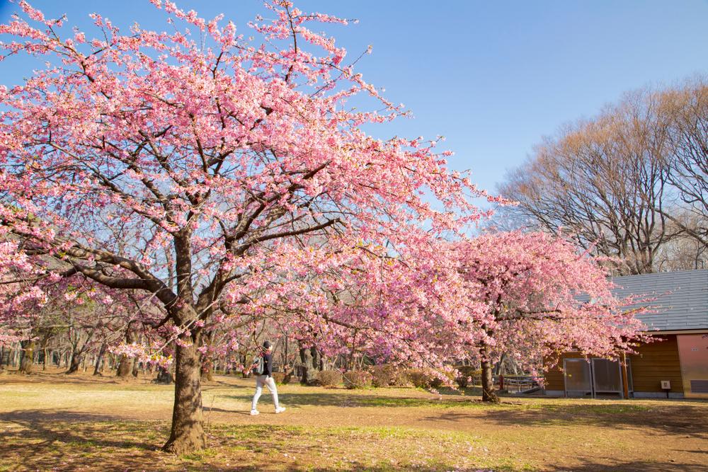 hoa anh đào tại công viên Yoyogi Park