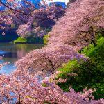 10 địa điểm đẹp nhất để ngắm hoa anh đào ở Tokyo