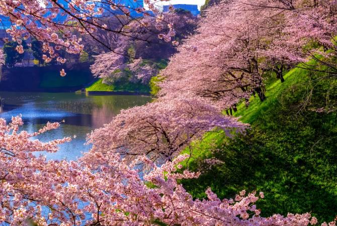 Hoa anh đào bên những đồi dốc ven hô tại công viên Chidori-ga-fuchi
