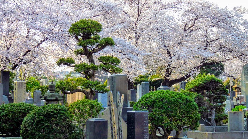 ngắm hoa anh đào tại Hibiya park